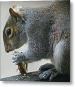 Grey Squirrel Dining Out Metal Print