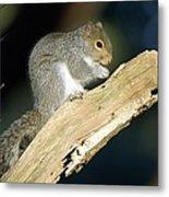 Grey Squirrel Feeding Metal Print by Duncan Shaw