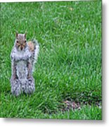 Grey Squirrel In The Rain II Metal Print