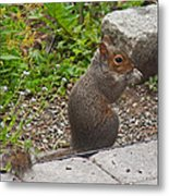 Grey Squirrel Metal Print