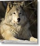 Grey Wolf Canis Lupus In Ecomuseum Zoo Metal Print