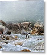 Grey Wolf Jumping Over A Mountain Stream Metal Print