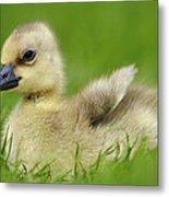 Greylag Goose Gosling Metal Print
