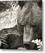 Grizzly At Rest Metal Print