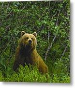 Grizzly Bear Alaska Metal Print