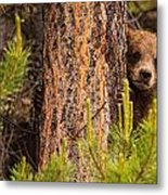 Grizzly Bear Cub Up A Tree, Yukon Metal Print