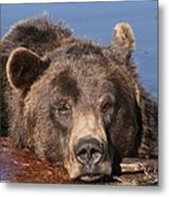 Grizzly Bear In Water Metal Print