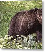 Grizzly Bear In Yellowstone Neg.28 Metal Print