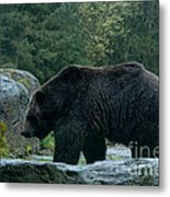 Grizzly Bear Or Brown Bear Metal Print
