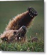 Grizzly Bear Ursus Arctos Stretching Metal Print