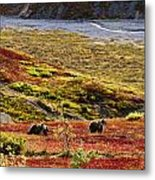 Grizzly Bears And Fall Colours, Denali Metal Print