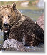 Grizzly Cavorts In Stream Metal Print