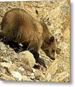 Grizzly On The Rocks Metal Print
