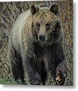 Grizzly Ramble Metal Print