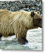 Grizzly Sow In Denali Metal Print