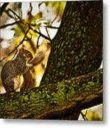 Grooming Grey Squirrel Metal Print