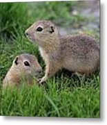 Ground Squirrels, Oak Hammock Marsh Metal Print