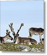 Group Of Caribou Resting On Alpine Metal Print