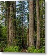 Group Of Redwoods Metal Print