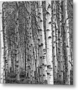 Grove Of Birch Trees Metal Print