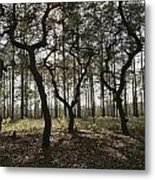 Grove Of Trees In The Ocala National Metal Print