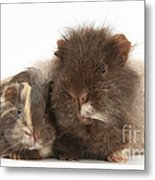 Guinea Pig And Baby Metal Print