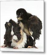 Guinea Pig And Black Bantam Chick Metal Print