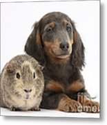 Guinea Pig And Blue-and-tan Dachshund Metal Print