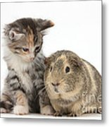Guinea Pig And Maine Coon-cross Kitten Metal Print