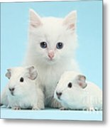 Guinea Pigs And Maine Coon-cross Kitten Metal Print