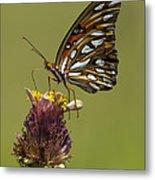 Gulf Fritillary Butterfly - Agraulis Vanillae Metal Print