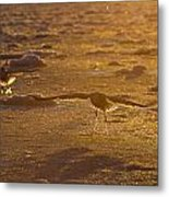 Gulls Searching For A Meal Metal Print