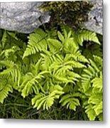 Gymnocarpium Robertianum Metal Print
