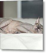 Hairless Sphinx Cat Metal Print