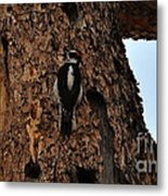Hairy Woodpecker On Pine Tree Metal Print