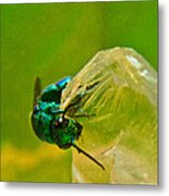 Halicid Wasp 1 Metal Print