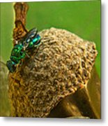 Halicid Wasp 4 Metal Print