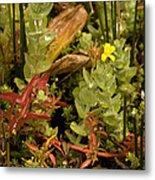 Hampshire Purslane (ludwigia Palustris) Metal Print by Bob Gibbons