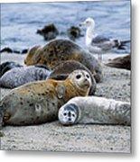 Harbor Seal Phoca Vitulina Mother Metal Print