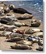 Harbor Seals Sunbathing On The Beach . 40d7553 Metal Print