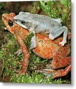 Harlequin Frog Atelopus Varius Pair Metal Print
