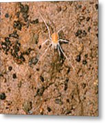 Harvestman Crosbyella Sp. In Cave Metal Print