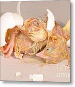 Hatching Chicken 19 Of 22 Metal Print