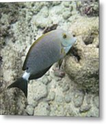 Hawaiian Tropical Fish P1060093 Metal Print