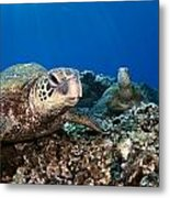 Hawaiian Turtle On Pacific Reef Metal Print by Dave Fleetham