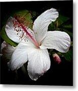 Hawaiian White Hibiscus Metal Print