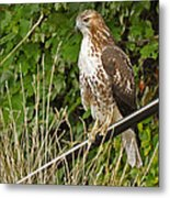 Hawk At A Wedding Metal Print