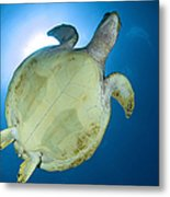 Hawksbill Sea Turtle Belly, Australia Metal Print