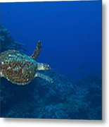 Hawksbill Sea Turtle, Kimbe Bay, Papua Metal Print
