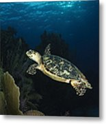 Hawksbill Sea Turtle Swimming Metal Print